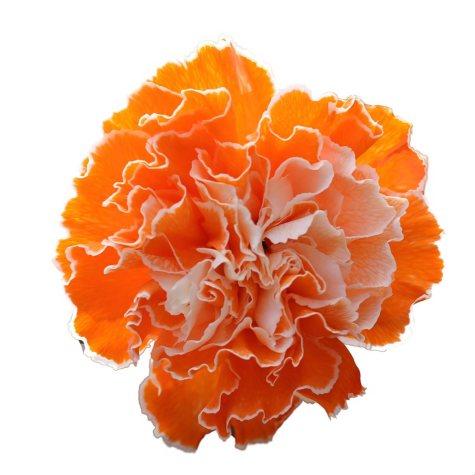 Carnations, Tinted Orange (Choose 175 or 350 stems)