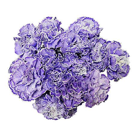 Carnations, Tinted Dark Purple (Choose 175 or 350 stems)