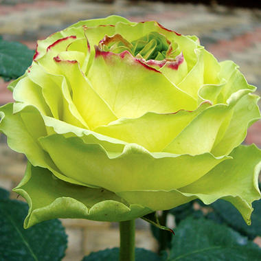 Картинки по запросу роза уимблдон