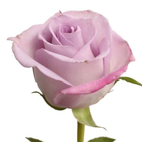 Roses, Purple Haze (choose 50 or 125 stems)