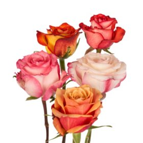 Bulk roses for sale sams club roses assorted bicolor 125 stems mightylinksfo