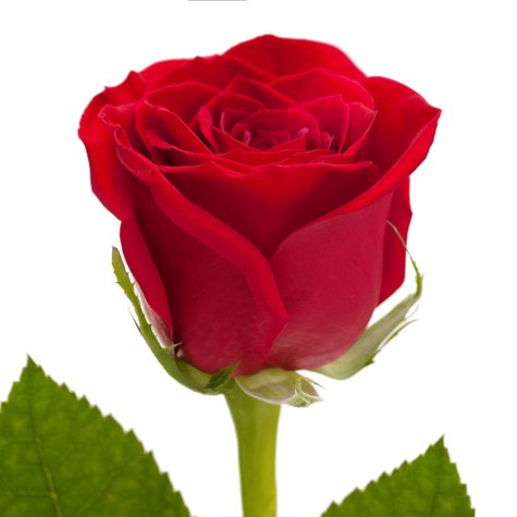 Roses, Red (125 stems)