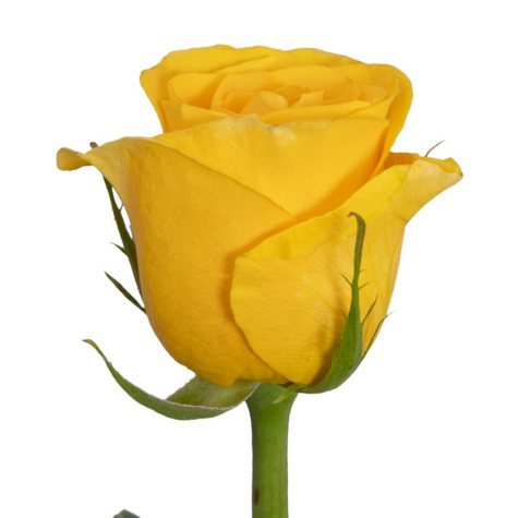 VARIANTED Roses, Yellow (125 stems)