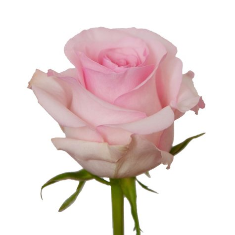 VARIANTED Roses, Light Pink 125 stems)