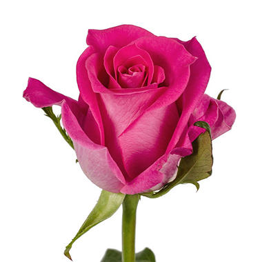 VARIANTED Roses, Hot Pink (125 stems)