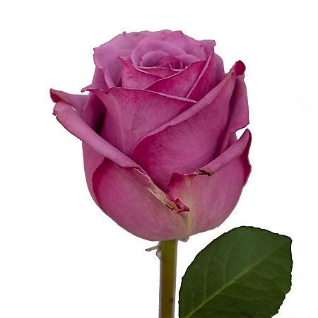 Roses, Lavender (125 stems)