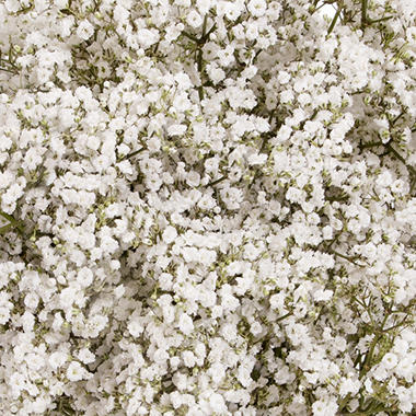 Gypsophila, Premium Million Star (10 bunches) - variant