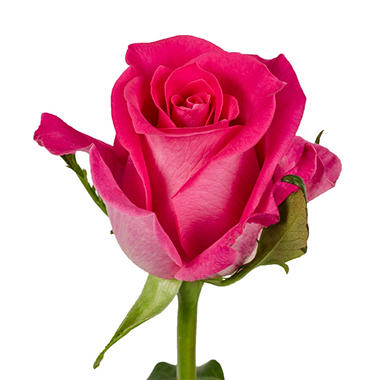 Roses - Hot Pink - 75 Stems