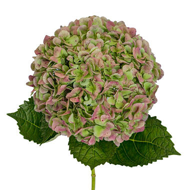 Jumbo Hydrangea, Antique Green (12 stems)