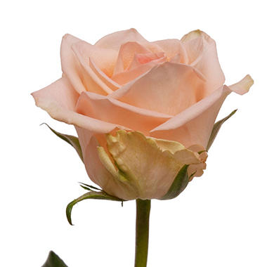 Roses, Peach (100 stems)