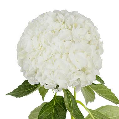 Jumbo Hydrangea White 12 Stems Sams Club