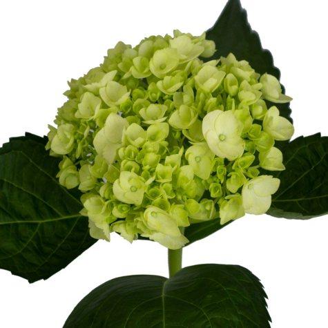 Mini Hydrangea, Green (40 stems)