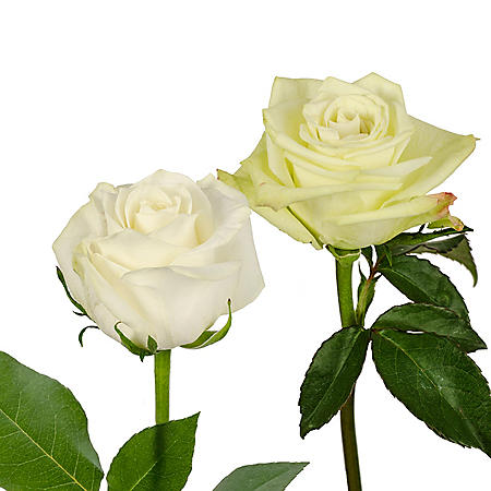 Roses, Green and White Combo (125 stems)