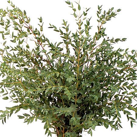 Eucalyptus Parvifolia (60 stems)