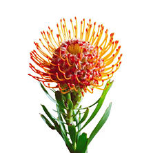 Protea Pin Cushion Orange, Leucospermum (24 stems)