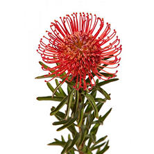 Protea Pin Cushion Red, Leucospermum (24 stems)