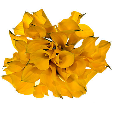 Calla Lily, Yellow (60 stems)