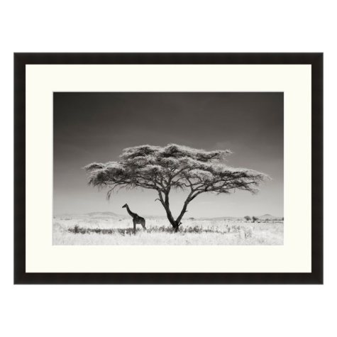 Framed Fine Art Photography - Giraffe Under Acacia by Andy Biggs