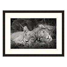 Framed Fine Art Photography - Lion Siblings by Andy Biggs
