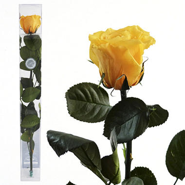 Standard Preserved Amorosa Rose - Yellow - 1 each