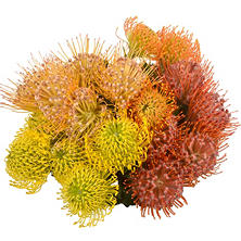 Pin Cushion Protea (25 stems)