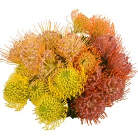 Pin Cushion Protea (25 stems)