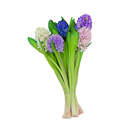 Hyacinth, Assorted Colors (50 stems)