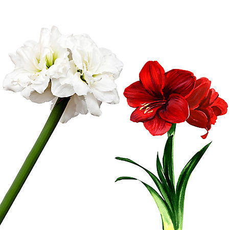 Amaryllis Christmas Mix (19 stems)