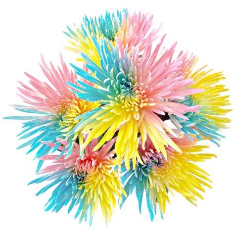 Rainbow Spider Mums, Pastel Colors (60 stems)