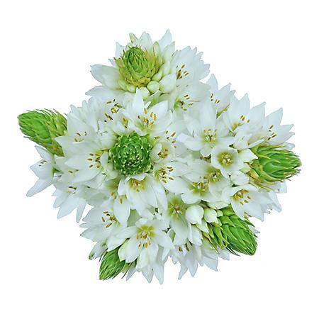 Star of Bethlehem (60 stems)