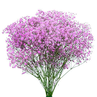 Gypsophila, Pink Glitter (choose stem count)