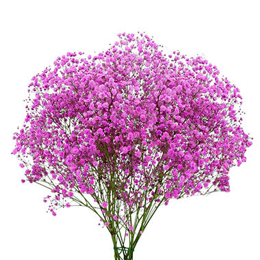 Gypsophila, Hot Pink Glitter (choose stem count)