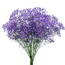 Gypsophila Glitter - Purple (Choose stem count)