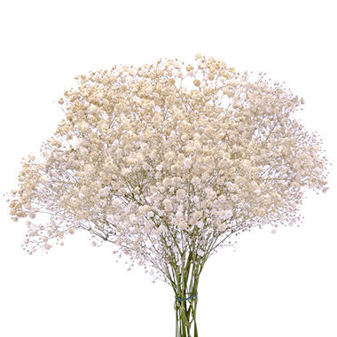 Gypsophila, Tinted Gold (choose stem count)