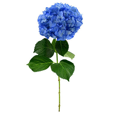 Painted Hydrangea, Dark Blue (choose 15 or 40 stems)