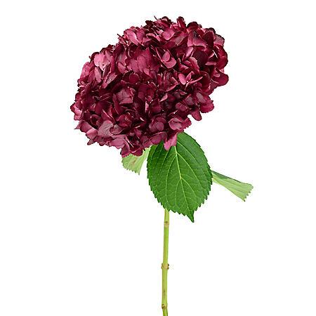Painted Hydrangea, Sangria (choose 15 or 40 stems)