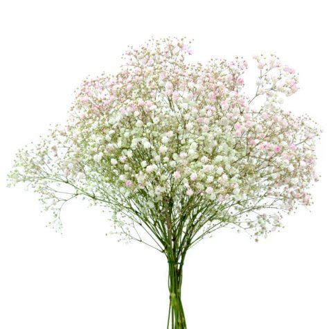 Gypsophila, Tinted Purple (choose stem count)