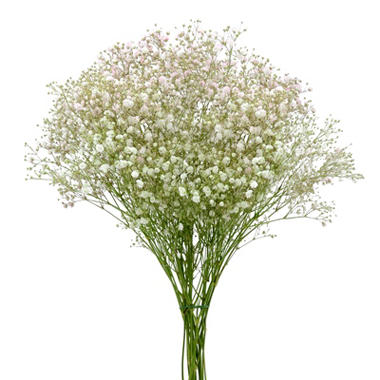 Gypsophila, Tinted Pink (choose stem count)