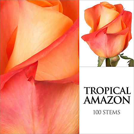 Roses, Tropical Amazone (100 stems)