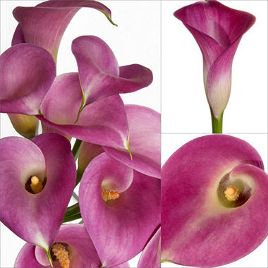 Mini Calla Lily - Pink - 100 Stems - Sam\'s Club