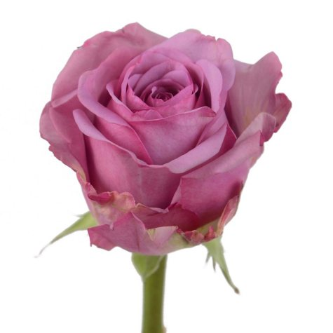 Roses, Cool Water (choose 50 or 100 stems)