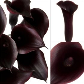 Mini Calla Lily - Black (Deep Purple)- 100 Stems